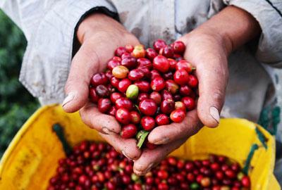 Kolumbien Rohkaffeebohnen