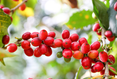 Sumatra rohe Kaffeebohnen
