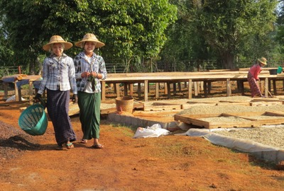 Kaffeeproduktion Myanmar