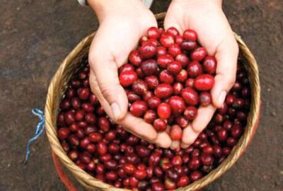 Rohkaffee Takengon Indonesien